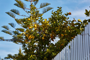 Orange tree behind a fence