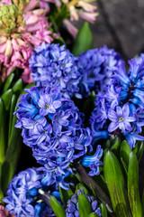 Blaue Hyazinthen (Hyacinthus orientalis)