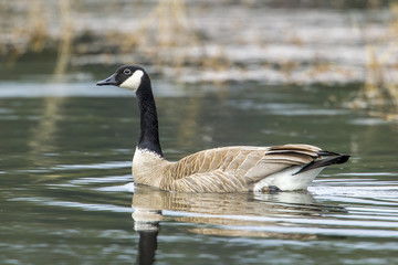 Goose makes ripple from swimming.