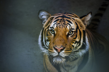Siberian tiger sitting in water