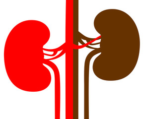 Kidneys illustration on a white background vector eps 10