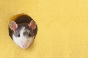 The mouse looks in a round hole in a yellow felt fabric..