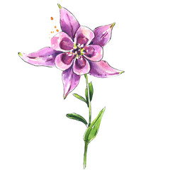 Watercolor pink columbine flower, botanical  illustration in vintage style, hand drawn floral element