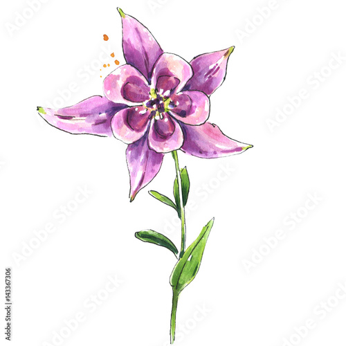 "Columbine Floral And Gifts: ""Watercolor Pink Columbine Flower, Botanical Illustration"