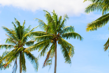 Green coco palm leaves on blue sky background. Palm tree and blue sky optimistic photo.