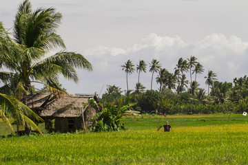 Rice fields with hut and coco palm trees. Tropical nature horizontal photo.