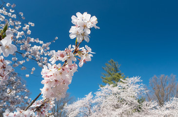 beautiful sunlit cherry blossoms in Maryland