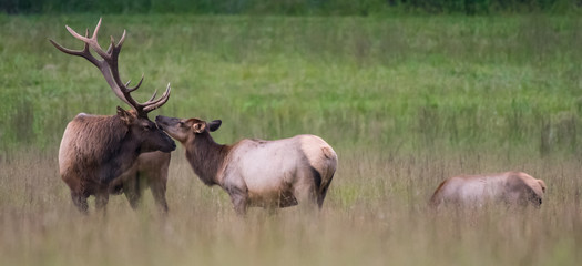 Bull and Cow Elk Nuzzle Panorama
