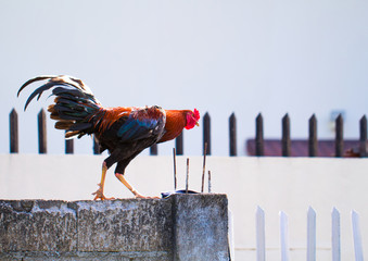 Colorful rooster on the fence. Trendy light photo of domestic bird with colorful feathers and red cockerel.