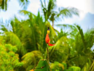 Tropical bird on banana flower. Olive-back sunbird on exotic flower.