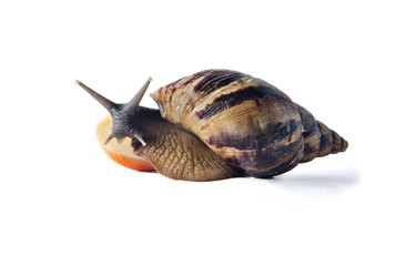 Isolated snail Achatina fulica on a white background