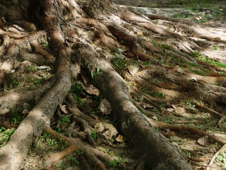Root of the big tree with dry leaves, light and shade