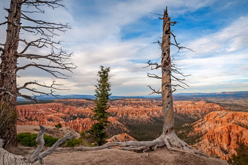 Dormant Trees at Bryce Point in Bryce Canyon National Park