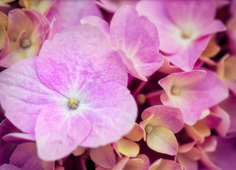 Pink hydrangea flower in macro close up for background