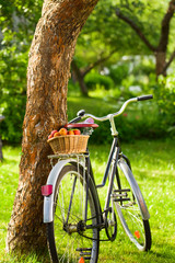 Basket with fresh juicy apricots on a old bike