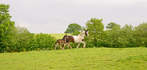 Mare running with her foal