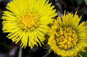 Macro close-up view of yellow flower of mountain plant