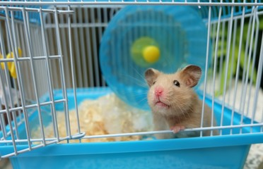Close-up of a cute hamster in blue cage