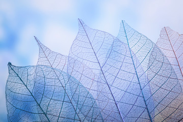 Tuinposter Decoratief nervenblad Skeleton leaves on blured background, close up