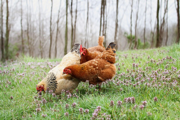 Free range organic chickens foraging in the springtime. Extreme shallow depth of field with selective focus on buff colored hen.