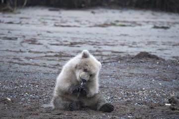Brown bear cub eating salmon along coast in Alaska