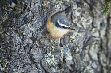 Red-breasted nuthatch on spruce tree