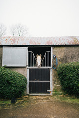 White horse looks out from behind barn doors