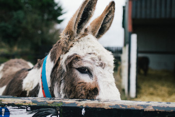 Donkey looking directly at camera
