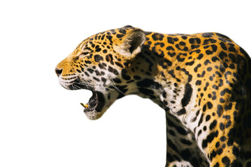Image of a jaguar ( panthera onca ) isolated on white backgrond.