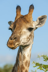 South African giraffe or Cape giraffe (Giraffa giraffa giraffa). KwaZulu Natal. South Africa