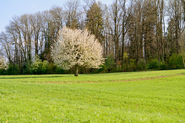 Kirschbaum alleine im Feld