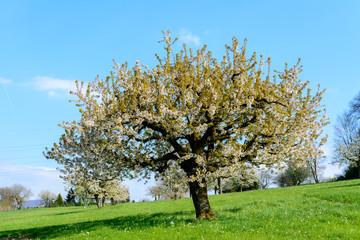 Kirschbaum blühend im Frühling