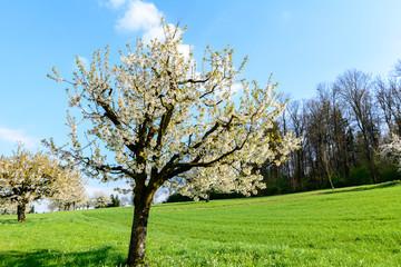 Baum mit weissen blüten