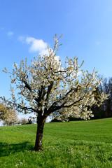Kirschbaum im Hochformat