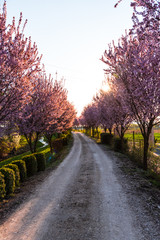 Amazing cherry  flowers trees by park alley