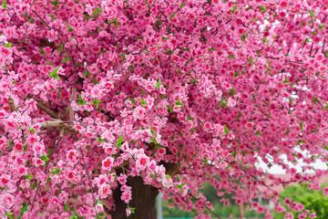 Cherry Blossom, Blossom, Cherry, Flower, Thailand