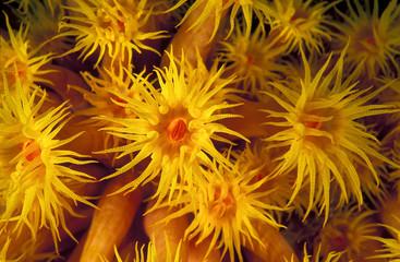 Close-up of coral polyps, Tubastraea faulkneri, Sulawesi Indonesia.