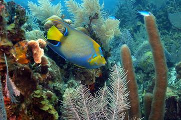 Queen Angelfish, Holacanthus ciliaris, Belize.