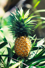 Perfect Pineapple Plant