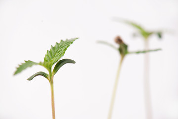 Cannabis sprouts with a seed shell attached to a leaf, isolated over white