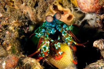 Smashing mantis shrimp, Odontodactylus scyllarus, eating her pray damsel fish, Bali Indonesia.