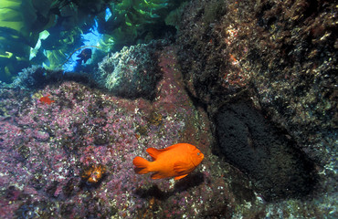 Garibaldi, Hypsypops rubicundus, defending its nest and cluster of eggs on the rock face, Channel Islands California, USA.