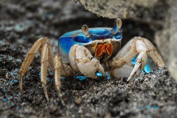 Blue land crab (Cardisoma guanhumi) guarding the burrow. Cahuita National Park, Costa Rica