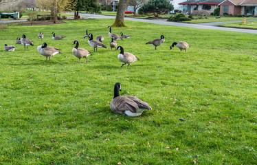 Canada Geese Near Lake 5