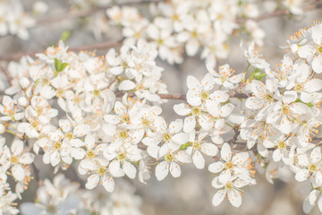 Beautiful flowering fruit trees. Blooming plant branches in spring warm bright sunny day. White tender flowers background.