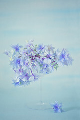 Beautiful purple hydrangea flowers close-up in a vase on a light blue background.