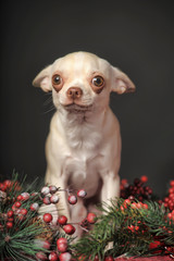 Chihuahua and Christmas branches with berries