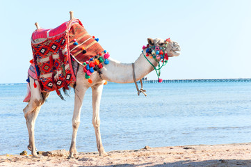 Papiers peints Chameau White camel standing on the Egyptian beach.Camelus dromedarius. Summertime outdoors.