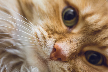 Close-up of funny red fluffy cat's nose