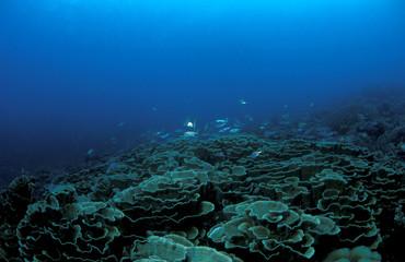 Hard corals, Echinopora sp., Sulawesi Indonesia.